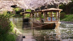 Canal Boats in spring (maco-nonch★R) Tags: kyoto canal fushimi 十石舟 boat spring fallingpetals 花筏 water 春 kioto 京都 伏見 日本