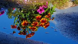 Gaillardia sprinkler puddle reflections