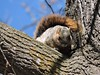 Eastern Fox Squirrel (old photo) (FluvannaBirder754) Tags: wildwoodpark bridgewater squirrel virginia mammal easternfoxsquirrel wildlife nature outdoor outdoors outside animal creature tree trunk lichen blue sky branch wood twig tail rufous eye eyes ears bushytail