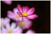 秋英    Cosmos (Alice 2018) Tags: 2018 cosmos flower spring pink nature canon eos7d canoneos7d canonef70200mmf4lisusm bokeh aatvl01 best aatvl02 aatvl03