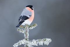 Bullfinch (Daniel Trim) Tags: pyrrhula bulfinch kalvträsk skellefteå skellftea scandinavia europe wildlife nature animals bird birding hide conny lundstrom lundström winter cold snowy snow