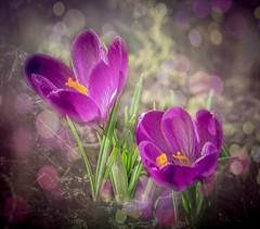 Krokusse (Torsten.Schwarz) Tags: crocus bokeh bee flower spring