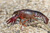 (Explore) Red Swamp Crayfish (Procambarus clarkii) Rode rivierkreeft (Ron Winkler nature) Tags: red swamp crayfish procambarusclarkii procambarus clarkii rode rivierkreeft invasive pest crustacean arthropod netherlands nederland europe canon 100400ii macro animal wildlife nature 7dii explore explored