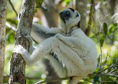 Hanging out - Verreaux's sifaka (NettyA) Tags: 2017 africa isalonationalpark madagascar propithecusverreauxi verreauxssifaka animal fauna forest lemur sifaka travel wildlife primate