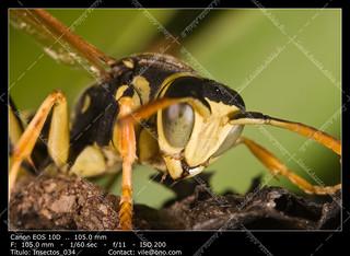 Wasp (Polistes bischoffi)