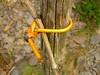 Rebenbindung mit Weide (Jörg Paul Kaspari) Tags: diecalmonttour wanderung vorfrühling calmontklettersteig rebenbindung mit weide salix rebstock weinberg