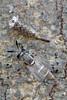 syrphid eclosed (myriorama) Tags: pupa syrphid fly eclosed teneral diptera aschiza syrphidae eristalinae cerioidini sphiximorpha sphiximorphawillistoni beech