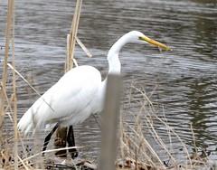 93of365 (duffy2317) Tags: nikkor 70300mm f4556g ifed afs vr zoom nikon d7000 egret bird 365