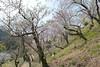 18o8040 (kimagurenote) Tags: 桜 sakura cherry blossom prunus cerasus flower tree 多摩森林科学園 tamaforestsciencegarden 東京都八王子市 hachiojitokyo