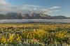 Grand Tetons blooming (greggohanian) Tags: grandtetonnationalpark grandtetons tetpns wildflowers