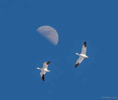 snow-geese-2018-BobGross (bgdesign2016) Tags: snow geese moon migration