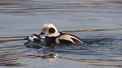 Long-tailed Ducks (Clangula hyemalis) (Gavin Edmondstone) Tags: clangulahyemalis longtailedduck female male bronteharbour oakville ontario