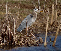 Great Blue Heron (Dendroica cerulea) Tags: greatblueheron ardeaherodias ardea ardeidae pelecaniformes aequornithes neoaves neognathae neornithes aves birds heron spring donaldsonpark highlandpark middlesexcounty nj newjersey