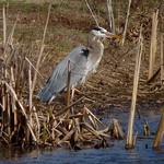Great Blue Heron thumbnail