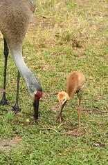 Sandhill Cranes (M. Coppola) Tags: egretglade pasco florida eating colts antigonecanadensis sandhillcrane adult