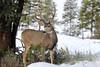 _D6I1191 Mule Deer Buck (BKP2010) Tags: muledeer bull cow calf yellowstonenationalpark wyoming fall 2017