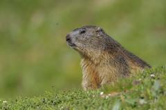 Marmotta (Ricky_71) Tags: marmot mountain summer green wild nature nikon