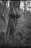 bulbous tree trunk, vines, ivy, Community Park at Craggy Park, West Asheville, North Carolina, Olympus XA, Arista.Edu 200, Ilford Ilfosol 3 developer, late March 2018 (steve aimone) Tags: trees treetrunk bulbous vines ivy forest woods communityparkatcraggypark westasheville asheville northcarolina olympus xa olympusxa aristaedu200 ilfordilfosol3developer 35mm 35mmfilm film landscape blackandwhite monochrome monochromatic