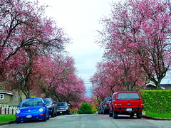 Clouds of pink! (peggyhr) Tags: peggyhr cherryblossoms trees spring vancouver bc canada vehicles blue red green dsc09662b thelooklevel1red infinitexposurel1 super~sixbronze☆stage1☆ thelooklevel2yellow super~six☆stage2☆silver super~six☆stage3☆gold