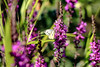 Natures colours (Paul Wrights Reserved) Tags: butterfly colours colour colourful nature wildlife botanical bokeh insect flyinginsect insects