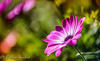 Garden Story (frederic.gombert) Tags: pink red light color colors colorful gerbera daisy flower garden plant bloom blossom spring sunlight macro