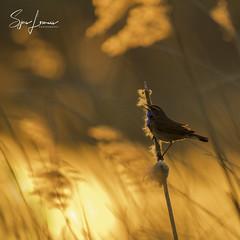 blauwborst-0159 (Sjors loomans) Tags: nature natuur bird birds natuurfotografie outdoor vogel wildlife sjors loomans holland blauwborst bluethroat luscinia svecia songbird