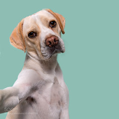 Dogsonality - pitiful Clooney (KevinBJensen) Tags: pets domestic animal dog paw pampered adorable beagle puggle selfie pitiful pitying pug mongrel mutt dogs portrait studio photographer photography photo picture face emotion character personality dogsonality
