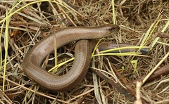 Slow Worm - Cleeve Common (glostopcat) Tags: slowworm reptile wildlife glos cleevecommon spring
