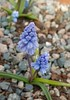 Muscari azureum (Todd Boland) Tags: bulbs muscari asparagaceae