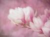 Magnolia (Karsten Gieselmann) Tags: 40150mmf28 6wonderland5 baum blüten bäume em5markii frühling jahreszeiten mzuiko magnolie microfourthirds natur olympus pflanzen rosa textur weis kgiesel m43 magnolia mft nature pink seasons spring texture tree trees white