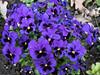Violets (RIch-ART In PIXELS) Tags: violets flower macro purple fujifilmxt20 xt20 bouquet bright garden