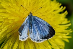 Model In Blue (wowafo) Tags: farben colors frühling spring makro macro butterfly natur nature bläuling blue blau