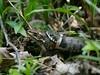 Natrice dal collare versus rana lataste (ddgp) Tags: natrixnatrix rana frog watersnake