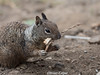 ground squirrel with nesting material (brian eagar - very busy - not much time to comment) Tags: squirrel animal mammal fur nesting mouth spring california 2018 april olympus 300mm olympus300mmf4 em1m2 em1mii