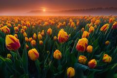 Foggy Tulips (albert dros) Tags: netherlands albertdros dutch tulips mist fog travel sunrise sunset
