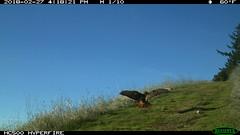 Red-tailed Hawk 2/27/2018; motion-sensor camera. San Mateo County, Santa Cruz Mountains, California, U.S.A. (BobcatWeather) Tags: bird raptor birdofprey buteojamaicensis redtailedhawk motionsensor cameratrap privatewildlands bobcatweather georgiastigall sanmateocounty santacruzmountains california usa fwnp