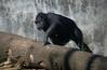 Chimp (Scott 97006) Tags: chimp primate cousin cute animal zoo log mammal