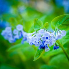 Bluebells on the Potomac (JohnTabor) Tags: ballsbluffbattlefieldregionalpark blue boragefamilyboraginaceae leesburg lightblue va virginia virginiabluebellsmertensiavirginica flower wildflower