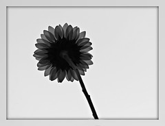 2018 B&W Sunflower in the Sky (dominotic) Tags: 2018 sunflower plant flower nature blackandwhite backlitsunflowerinthesky helianthusannuus bwsunflowerinthesky circle sundaylights sydney australia