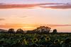Sun set flowers (alain01789) Tags: velvia sunset dusk crepuscule sunflowers tournesols fields champs landscape paysage nature