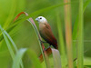 White-headed Munia (WilliamPeh) Tags: olympus omd em1 bird birding wild wildlife explore white headed munia