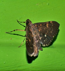 Sooty Bead chain moth Syllepte sp Spilomelinae Crambidae Airlie Beach Rainforest P1250147 (Steve & Alison1) Tags: sooty bead chain moth sp airlie beach rainforest syllepte spilomelinae crambidae