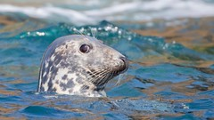 Grey Seal (haroldmoses) Tags: 2y3a18891 islesofscilly seals