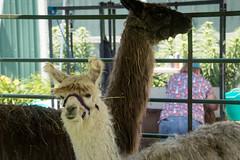 2018-6-2 Llamas at Hoosier Hills Fiber Festival