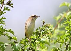 Sedge Warbler - Taken at Titchmarsh Nature Reserve, Aldwincle, Northants. UK (Ian J Hicks) Tags: