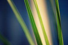 Dracena (tad888) Tags: fleur flower nature macro dracena pousse fouettes green vert verdure tiges stems