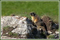 Marmotte 180619-00-P (paul.vetter) Tags: animal rongeur marmotte mammifère sciuridé marmotamarmota groundhog murmeltier marmota