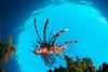 lion (Todd Aki) Tags: alorindonesia lionfish scuba