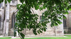 Horse Chestnut (Aesculus hippocastanum) - leaves & young fruit - June 2018 (Exeter Trees UK) Tags: horse chestnut aesculus hippocastanum leaves young fruit june 2018