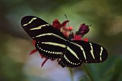 A Little Backyard Beauty (ACEZandEIGHTZ) Tags: heliconius charithonia nikon d3200 bokeh zebra longwing black yellow stripes nature coth alittlebeauty coth5 sunrays5